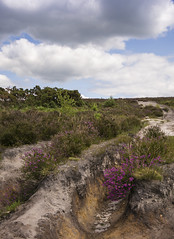 High up in the New Forest (Ang1852) Tags: heather newforest pathway heathland