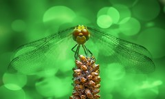 Dragonfly (Delbrücker) Tags: macro insect dragonfly bokeh makro libelle insekt nikkor105mm nikond610
