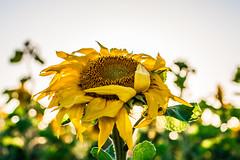 snuflower1 (Pingo2002) Tags: sunset plant flower canon sweden 7d sunflower sverige solros 2015 2470