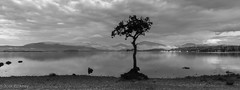 Lone Tree, Millarochy Bay, Loch Lomond (npinks) Tags: millarochybay lochlomond tree blackwhite bw