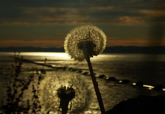 Seed Head Sunset..x (Lisa@Lethen) Tags: sunset sun nature water clouds dandelion moray firth ardersier