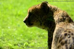 Jachtluipaard - Acinonyx jubatus - Cheetah (MrTDiddy) Tags: cat mammal zoo big kat feline bigcat cheetah planckendael grote luipaard jacht acinonyx jachtluipaard jubatus zoogdier grotekat