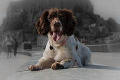 ZigZag at Mont Saint-Michel (The Papa'razzi of dogs) Tags: france fr lemontsaintmichel bassenormandie