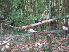 OUISTITI ARGENTE ET TAMARIN A MAINS ROUSSES (marsupilami92) Tags: france frankreich primate 86 vienne tamarin singe sudouest ouistiti romagne lavalléedessinges poitoucharentes