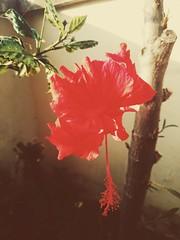 jardim (meeeeeeeeeel) Tags: red flower nature mobile garden sony natureza flor cellphone vermelho hibiscus jardim hibisco redflower canteiro redhibiscus florvermelha goldentones hibiscovermelho xperia vscocam