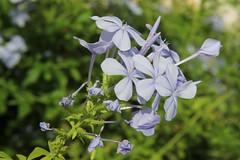 Blomster (Benny Hnersen) Tags: holiday flower greece blume griechenland ferie sivota blomster syvota 2015 augsut grkenland