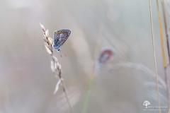 Duo (photosenvrac) Tags: macro nature bokeh papillon insecte sigma150 natura2000 thierryduchamp
