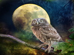 IMG_4787 ...and the night took you away... (pinktigger) Tags: sky moon bird texture leaves night eyes branch owl minnie owlet platinumheartaward pastfeaturedwinner