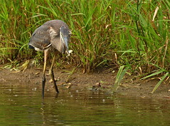 Last Legs (Slow Turning) Tags: food bird water pond feeding hunting amphibian frog prey immature greatblueheron wading southernontario ardeaherodias