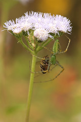 Spider eating Bee (lars hammar) Tags: arizona insect spider tucson arachnid bee tohonochul tohonochulpark
