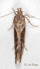 # 1986 – Gnorimoschema gallaesolidaginis – Goldenrod Gall Moth (Wildreturn) Tags: october 1986 gelechiidae gnorimoschema twirlermoths goldenrodgallmoth gnorimoschemagallaesolidaginis mothsofmissouri mothsofmissourifieldguide hodges1986