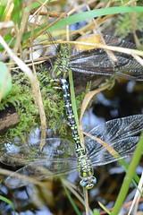 southern hawkers (Aeshna cyanea) - tandem oviposition (one of three images) (willjatkins) Tags: dragonflies dragonfly britishwildlife hawker ashridge odonata aeshnacyanea southernhawker aeshna ukwildlife macrowildlife hertfordshirewildlife britishodonata dragonflybehaviour dragonflyegglaying hertfordshiredragonflies tandemoviposition tandemegglaying
