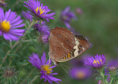 Butterfly (KsCattails) Tags: autumn orange brown black macro fall nature bronze butterfly insect evening nikon soft purple outdoor cream meadow aster jccc commonbuckeye underwing d3100 kscattails