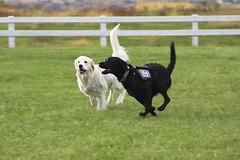 James & Stanley (the_mel) Tags: dog dogs goldenretriever lab maryland wcc servicedog labradorretriever veterans therapydog warriorcanineconnection