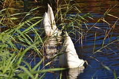 Verstoppertje / Hide and seek (wilma HW61) Tags: autumn naturaleza holland fall reed nature water netherlands animal automne swan aqua wasser upsidedown outdoor herbst natur herfst nederland natuur h2o photowalk holanda grasses dieren paysbas riet cygne canna tier niederlande erbe otono zwaan roseau cigno najaar gramines ondersteboven grassen sottosopra lenvers kontjes nikond90 verkehrtherum engelsewerk rohrblatt wilmahw61 wilmawesterhoud herfstphotowalkzwolle