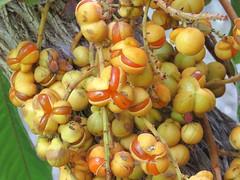 Diploglottis cunninghamii 12 (barryaceae) Tags: kooloobung creek nature park port macquarie new south wales australia australianrainforestplant ausrfps sapindaceae order sapindales soapberry family