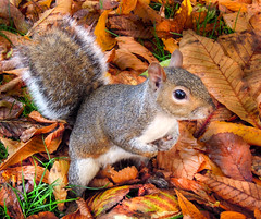 Squirrel in autumn leaves. (DHHphotos) Tags: autumn leaves nikon squirrel hydepark