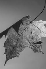 Folded Sycamore Leaf (J.R.R. McMillan) Tags: life autumn white black monochrome leaves leaf still sycamore backlighting