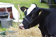 IMGP5536-046 (hugomekersfotografie) Tags: delta hugo dieren crv koeien boerderij 2015 boeren veehouderij brownswiss roodbont veeteelt tractoren rundvee zwartbond rijkse streeknieuws hugomekersfotografie fokveedageibergen