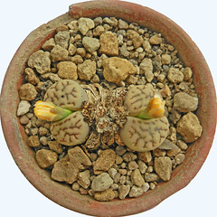 Lithops bromfieldii var. mennellii. [C 283, South Africa, 20 km SSW of Upington] (2) (Succulents Love by Pasquale Ruocco (Stabiae)) Tags: southafrica succulent lithops mesembryanthemum namibia mimicry stabiae mimetismo piantegrasse aizoaceae succulente mesembryanthemaceae cactusco mesembs fulviceps floweringstones sassifioriti pasqualeruocco forumcactusco suculentslove