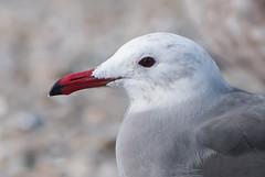 My Favorite Gull (martytdx) Tags: ca birds monterey adult lifelist gull larus ptpinos laridae breedingplumage heermannsgull larusheermanni trophyshot larinae