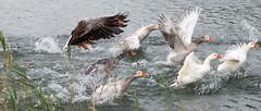 5DM31953 (enesmi) Tags: lake bird water race canon river duck wings wasser natur natuur ducks 5d su irmak rennen 70200 tier vogel gruppe kus yaris rdek rivier ganz grup kanat hayvan 5dmarkiii