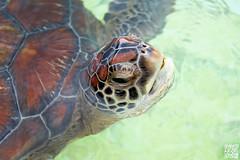 Hello! (Alex..H) Tags: ocean water eau tortue carapace iledelarunion reunionisland turtlle ecaille klonia