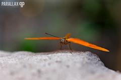 Butterfly (EmH Fotografie) Tags: macro canon dof bokeh 100mm vlinders 100mmmacro canon6d orchideeenhoeve macrodreams 100macrof28canon