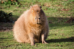 Capybara (Jez22) Tags: portrait copyright hairy brown cute green nature grass animal closeup hair fur mammal outdoors pig rodent photo big furry close outdoor wildlife large american carpincho largest capybara capivara capibara herbivorous hydrochoerus hydrochaeris jeremysage