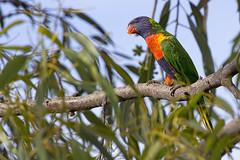 Rainbow Lorikeet 2015-12-31 (_MG_7335) (ajhaysom) Tags: australia melbourne rainbowlorikeet australianbirds trichoglossushaematodus canoneos60d sigma150600 royalparkwetlands