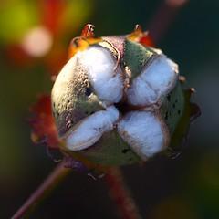 Flor de algodn (Brbara L.F.) Tags: flower cotton cot algodn flor capullo