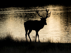 Red Deer - Richmond Park (paulmeacham84) Tags: red deer richmond park rut rutting sunrise morning early london