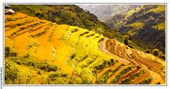 Culture du riz  Landruk (Npal) (L'Abominable Homme de Rires) Tags: nepal landscape terrasse culture atalante tamron canon 5dmkiii trek