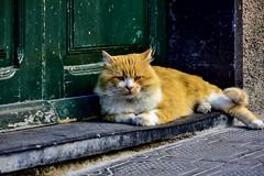 my name is Rust and I'm an alley cat ... (miriam ulivi) Tags: miriamulivi nikond7200 liguria sestrilevante portobello gatto cat animals pet nature