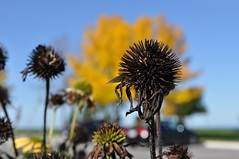 pointy (ladybugdiscovery) Tags: flower garden seedheads collingwood park echinacea coneflower