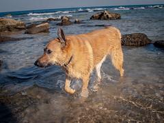 IMGP3349 (jamin.sandler) Tags: pentaxistds palmachimbeach smcpentaxm2435mm dog