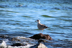 Möwe (janinawarncke1973) Tags: vogel möwe tier wasser stein meer ocean sea beach strand sierksdorf lübecker bucht balticsea jawafotode wwwjawafotode