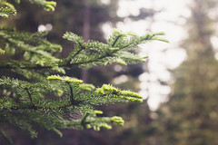 Evergreen (WeelaCakes) Tags: tree trees evergreen bokeh blur dof depthoffield vintage helios helios442 outdoors camping campsite green canon