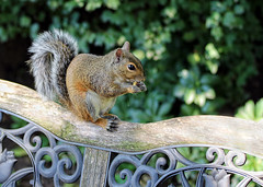 sunny day squirrel snack...Explore 10/13/2016 (LotusMoon Photography) Tags: squirrel animal furry nature critter backyard home bench tail wild annasheradon lotusmoonphotography
