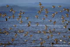 Shorebirds in Flight (Colleen Easley) Tags: birds ocean shorebirds westport birdsinflight sandpipers