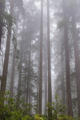 Prairie Creek Redwoods 19 (ssiegel16) Tags: prairiecreek redwoods