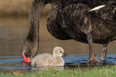 Black Swan (Cygnus atratus) (Ian Colley Photography) Tags: blackswan cygnusatratus herdsmanlake westernaustralia canoneos7dmarkii bird 500mm