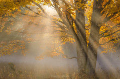Through October (Aaron Springer) Tags: michigan northernmichigan tree mapletree fall autumn october sunlight sunbeam sunray mist fog haze backlit illuminated serene outdoor nature landscape
