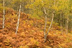 Birch and Bracken (craig.denford) Tags: surrey bracken birch