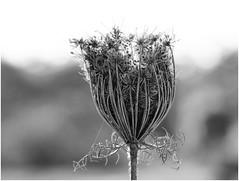 juntos floresceremos! (Rodrigo Uriartt) Tags: flower flowers dry wild carrot telemacro macro mono bnw bw pb 55~200mm fujifilm xpro1 israel betyehoshua