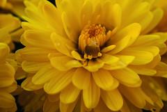 Cradling a dew drop (Nikon Guy 56) Tags: flower nature mum yellow nikon d60