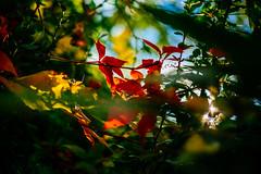 Virginia Creeper (mdss68) Tags: fujixpro2 fujixf35mmf14 fall autumn colour nature vsco fujivelvia50