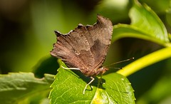 7K8A4807 (rpealit) Tags: scenery wildlife nature hyper humus newton eastern comma butterfly