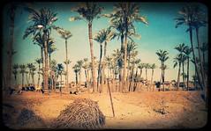 Irgendwo am Nil 1 (Casey Hugelfink) Tags: egypt gypten kairo cairo alcahira sakkara palmen palmtrees nil fellahin fellachen dattelpalmen landwirtschaft agriculture vintage