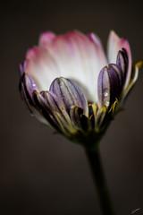 Flower (R.Didier) Tags: fleur macro jardin nature flower garden flou bokeh couleur color